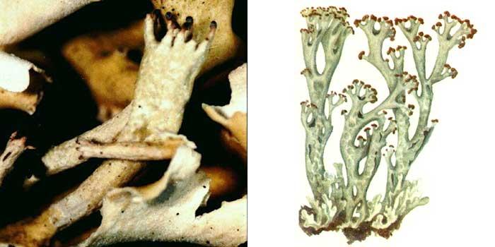 Кладония вздутая — Cladonia turgida