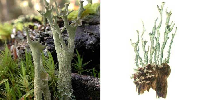 Кладония пустая — Cladonia cenotea