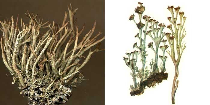 Кладония курчавая — Cladonia crispata