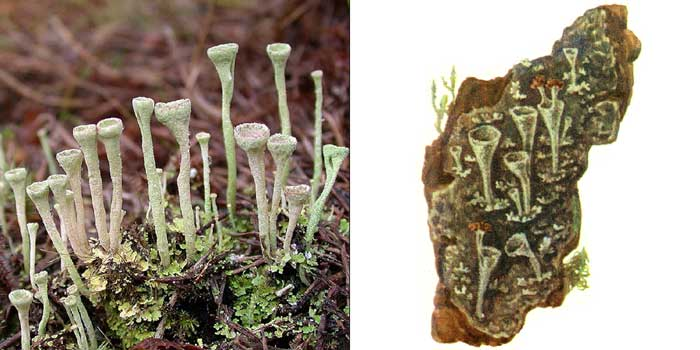 Кладония бахромчатая — Cladonia fimbriata