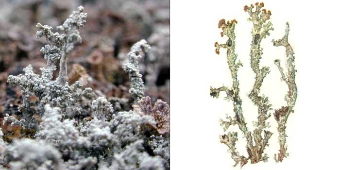 Кладония чешуйчатая — Cladonia squamosa