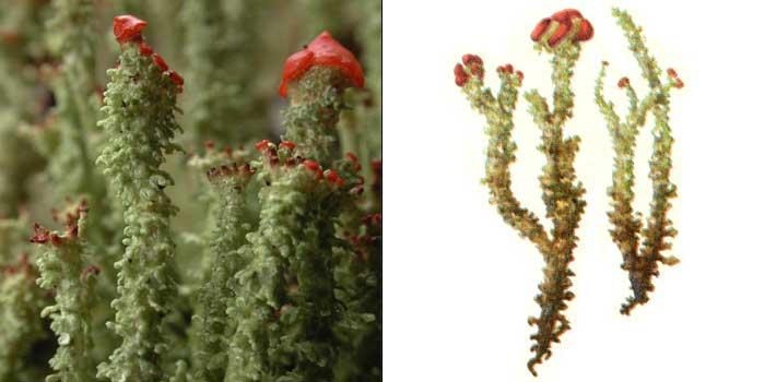Кладония маргариткоцветная — Cladonia bellidiflora