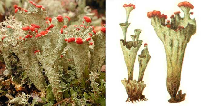 Кладония красноплодная — Cladonia coccifera
