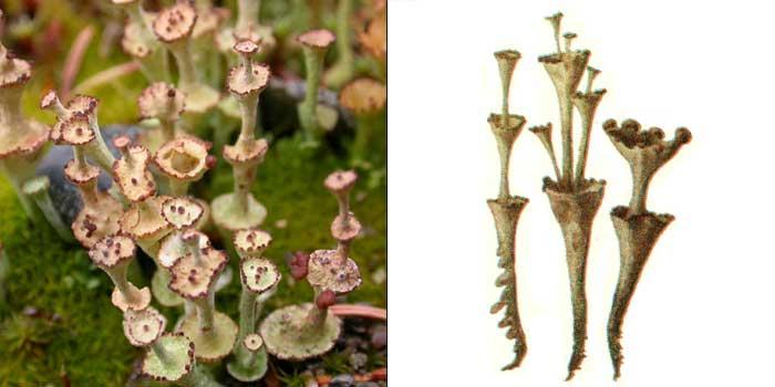 Кладония мутовчатая — Cladonia vertcillata