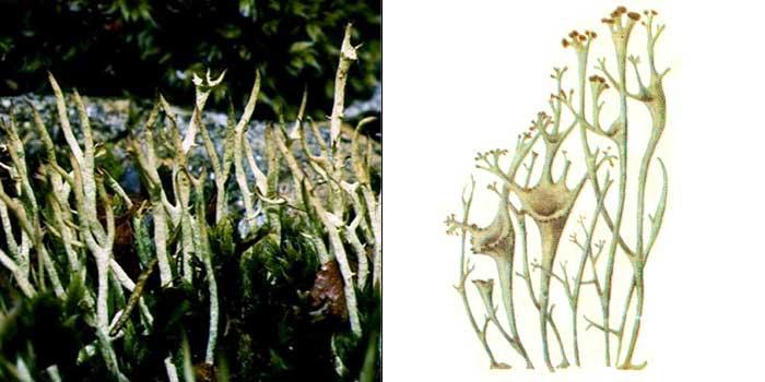 Кладония темно-мясная — Cladonia amaurocraea