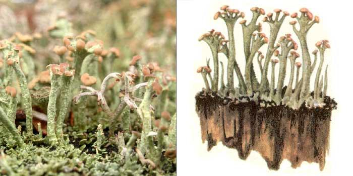 Кладония гроздевая — Cladonia botrytes