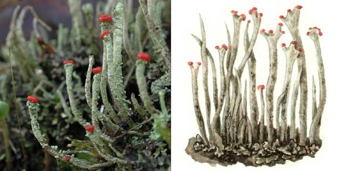 Кладония палочковая — Cladonia bacillaris