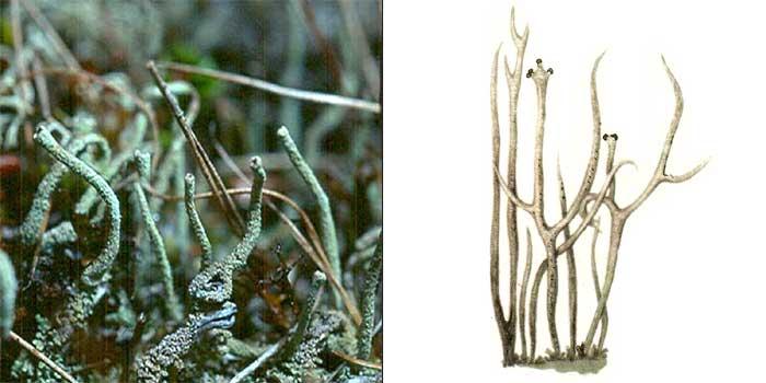 Кладония рогатолучистая — Cladonia cornutoradiata