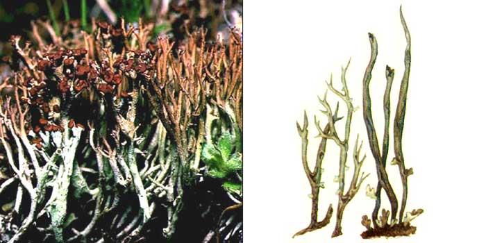 Кладония вильчатая — Cladonia furcata
