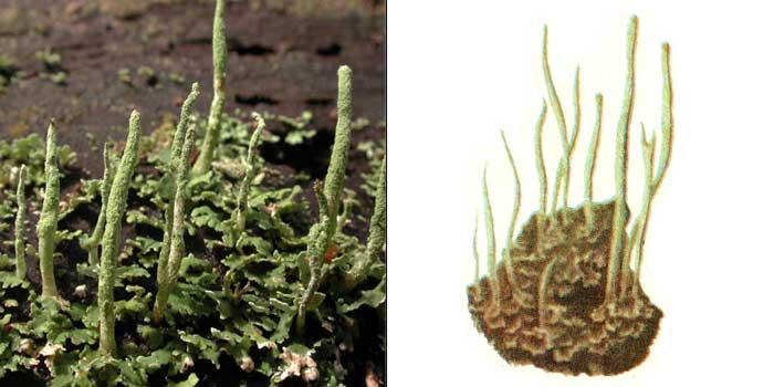 Кладония шишконосная — Cladonia coniocraea