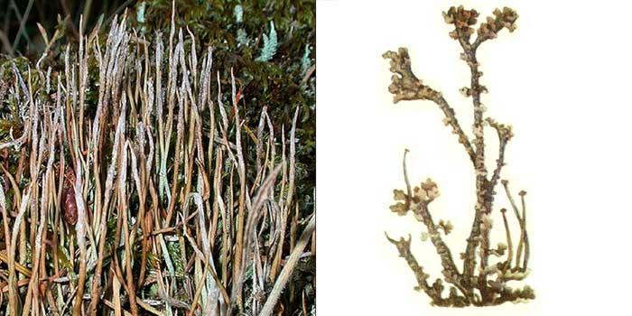 Кладония рогатая — Cladonia ceraspora