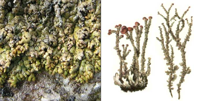 Кладония альпийская — Cladonia alpicola