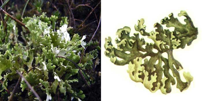 Кладония листоватая — Cladonia foliacea