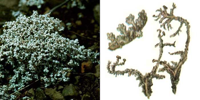 Стереокаулон коралловидный — Stereocaulon coralloides