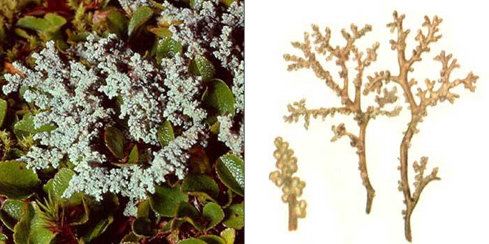 Стереокаулон альпийский — Stereocaulon alpinum