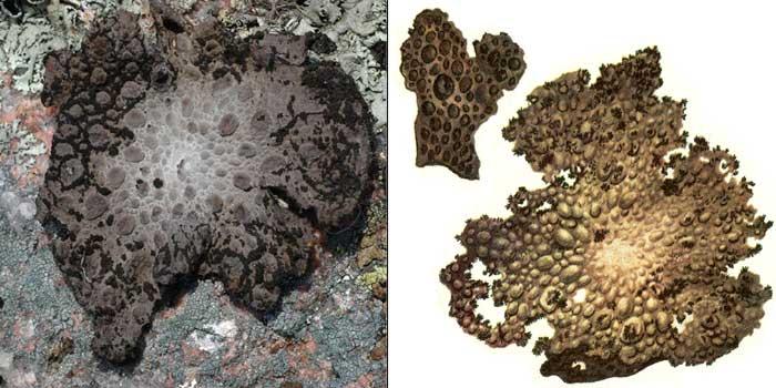 Умбликария пузырчатая — Umblicaria pustulata