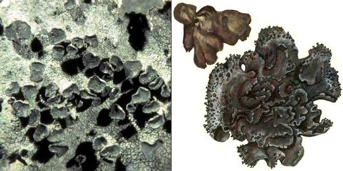 Гирофора жесткая — Gyrophora rigida