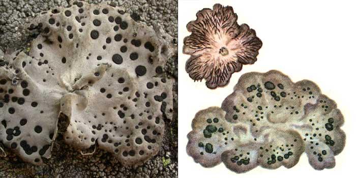Гирофора корковая — Gyrophora crustolosa