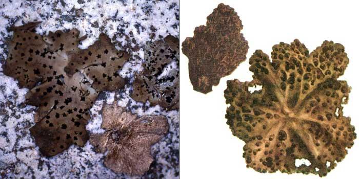 Гирофора Мюленберга — Gyrophora muehlenbergii