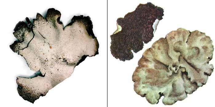 Гирофора шерстистая — Gyrophora vellea