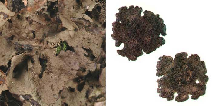 Гирофора обожженная — Gyrophora deusta
