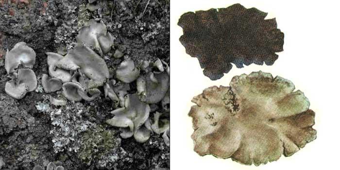Гирофора мышино-серая — Gyrophora murina