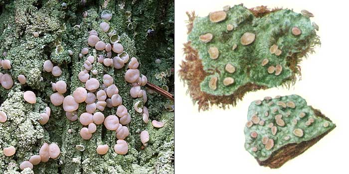 Икмадофила пустотная — Icmadophila ericetorum