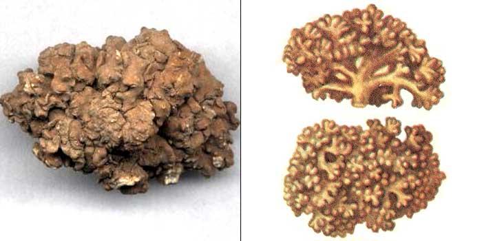 Аспицилия съедобная — Aspicilia esculenta