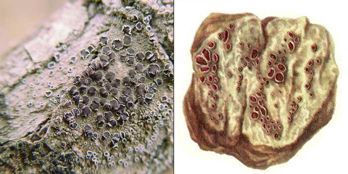 Леканора разнообразная — Lecanora allophana