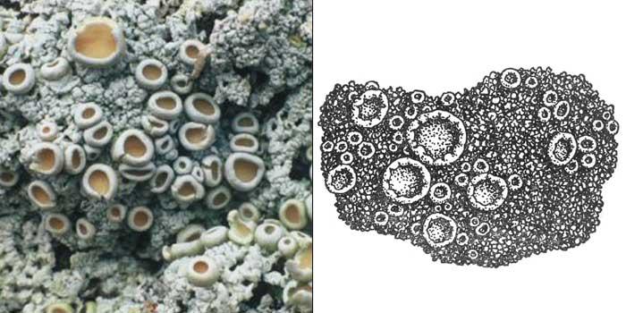 Охролехия виннокаменная — Ochrolechia tartarea