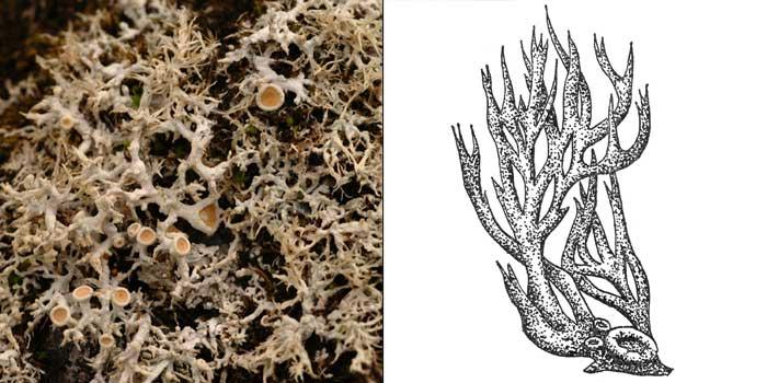 Охролехия холодная — Ochrolechia frigida