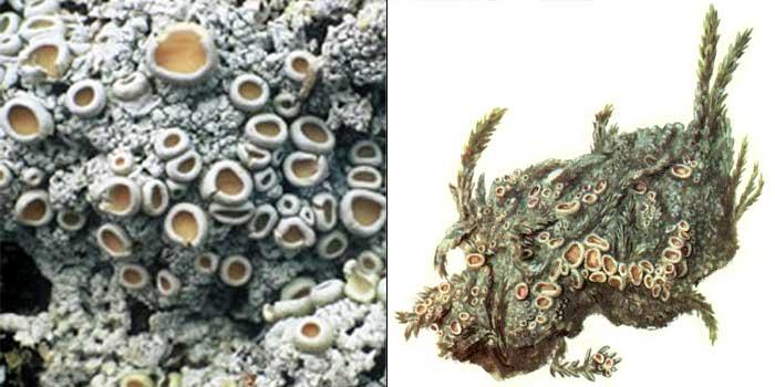 Охролехия обоеполая, или двуполая — Ochrolechia androgyna