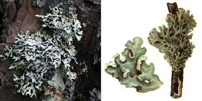 Гипогимния вздутая — Hypogymnia physodes