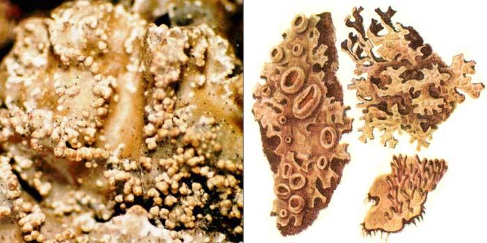 Пармелия скальная — Parmelia saxatilis