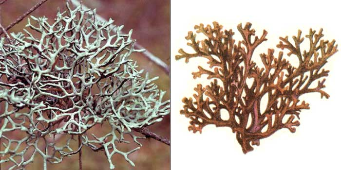 Пармелия грубоморщинистая — Parmelia ryssolea