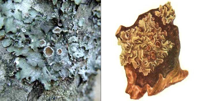 Пармелия блюдчатая — Parmelia acetabulum