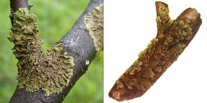 Пармелия оливковая — Parmelia olivacea