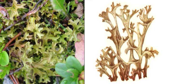 Цетрария исландская, или «исландский мох» — Cetraria islandica