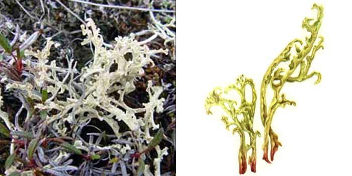 Цетрария клобучковая — Cetraria cucullata