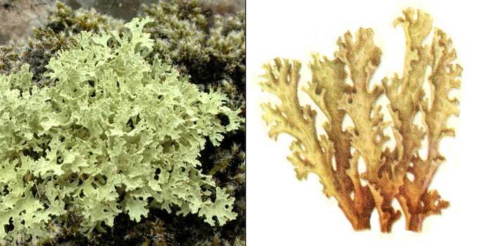 Цетрария снежная — Cetraria nivalis
