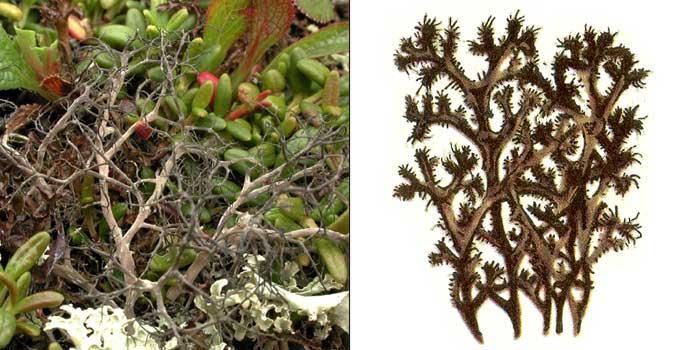 Цетрария черноватая — Cetraria nigricans