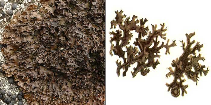 Цетрария печеночная — Cetraria hepatizon