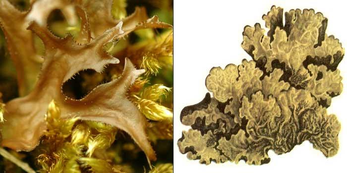 Цетрария золотистая — Cetraria chrysantha