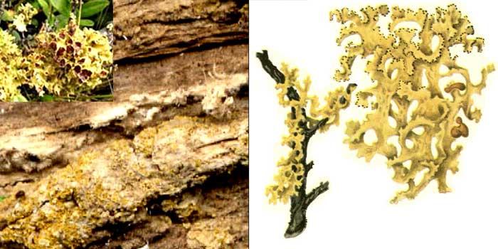 Цетрария можжевельниковая — Cetraria juniperina