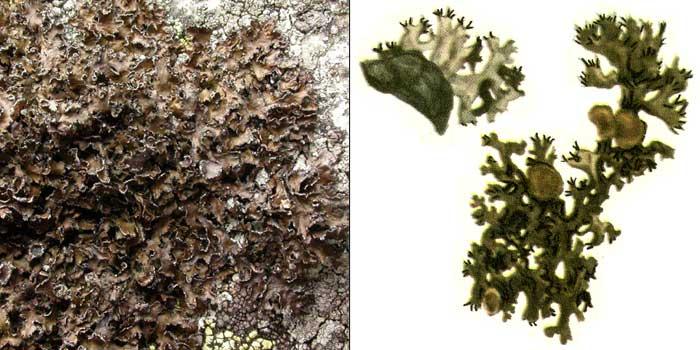 Цетрария смешанная — Cetraria commixta