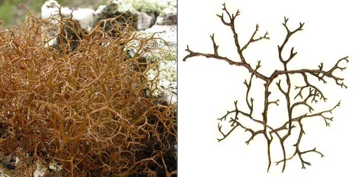 Корникулярия расходящаяся — Cornicularia divergens