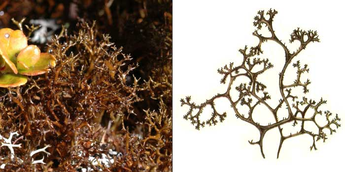 Корникулярия тончайшая — Cornicularia tenuissima
