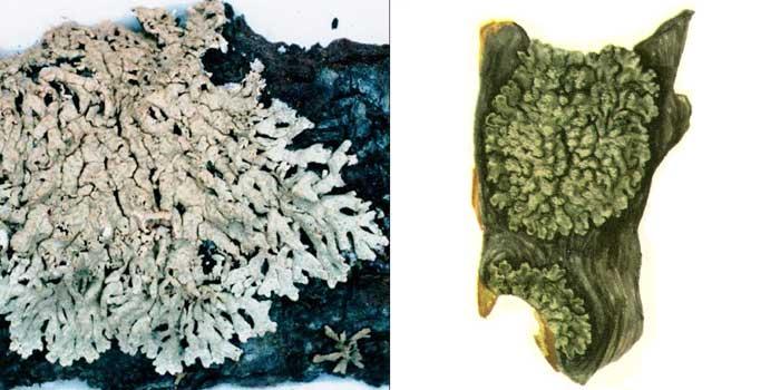 Пармелиопсис сомнительный — Parmeliopsis ambigua