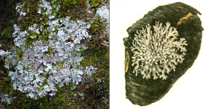 Пармелиопсис темный — Parmeliopsis hyperopta