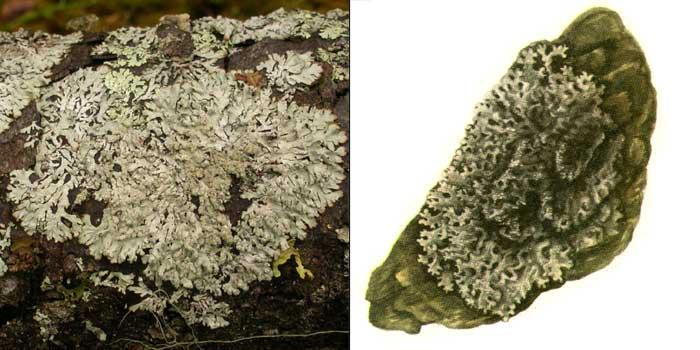 Пармелиопсис бледнеющий — Parmeliopsis pallescens